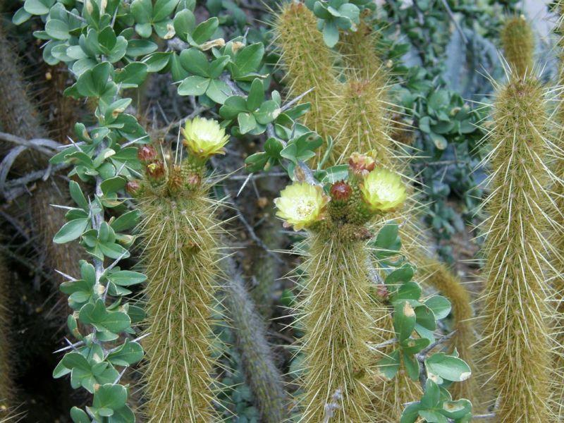 BERGEROCACTUS (БЕРГЕРОКАКТУС) О кактусах