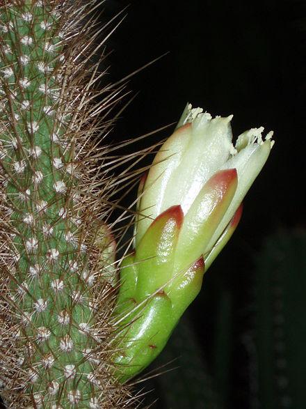 BRASILICEREUS (БРАЗИЛИЦЕРЕУС) О кактусах