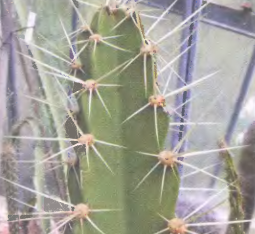 CALYMNATHIUM (КАЛИМНАЦИУМ) О кактусах