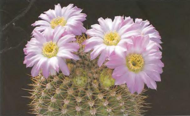 ACANTHOCALYCIUM (АКАНТОКАЛИЦИУМ) О кактусах