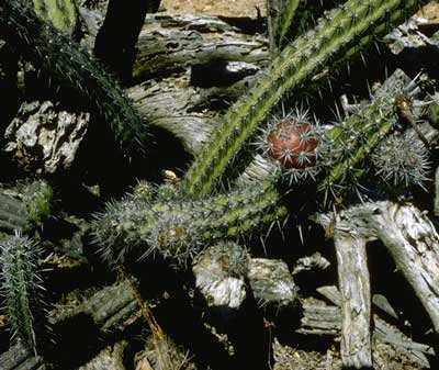 ACANTHOCEREUS (АКАНТОЦЕРЕУС) О кактусах