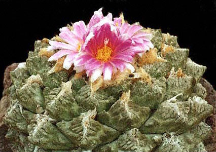 ARIOCARPUS (АРИОКАРПУС) О кактусах