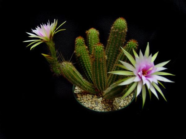 ARTHROCERELS (АРТРОЦЕРЕУС) О кактусах