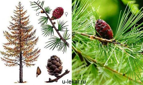 Целебные свойства лиственницы Здоровье