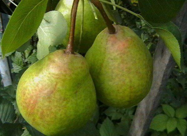Летние сорта груш - Сказочная Сад и огород