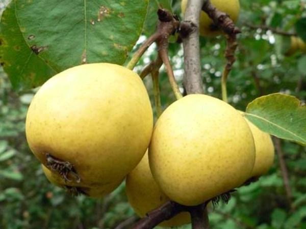 Летние сорта груш - Скороспелка из Мичуринска Сад и огород