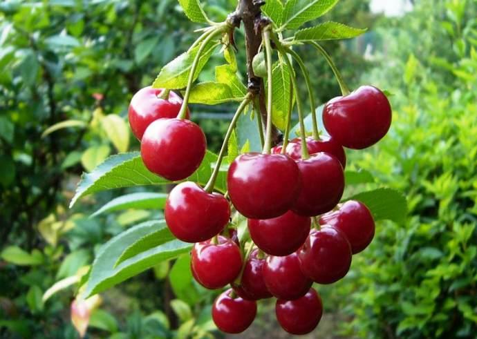 Молодежная (Сорт вишни среднего срока созревания) Сад и огород