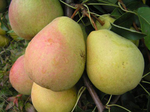 Осенние сорта груш - Велеса (Дочь Отличной) Сад и огород
