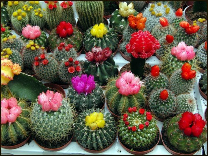 Откуда появились кактусы О кактусах