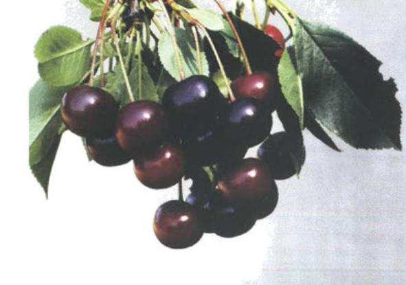 Поздние сорта вишни - Краснопахарская Сад и огород
