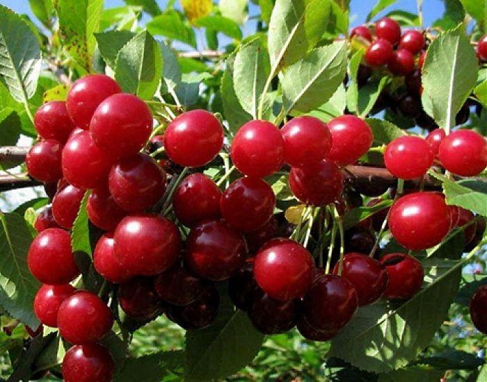 Поздние сорта вишни - Любская Сад и огород