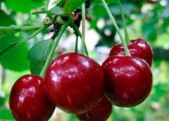 Поздние сорта вишни - Малиновка Сад и огород
