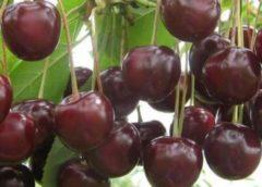 Поздние сорта вишни - Шакировская Сад и огород