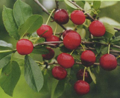 Поздние сорта вишни - Вахитовская Сад и огород