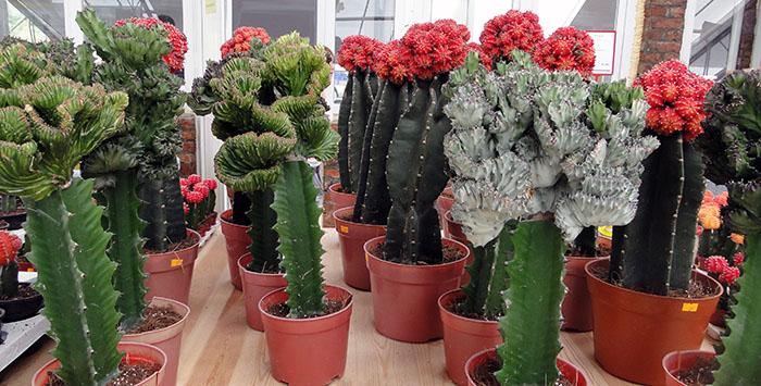 Прививка кактусов О кактусах