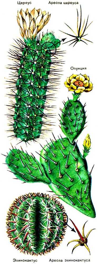 Строение кактусов О кактусах