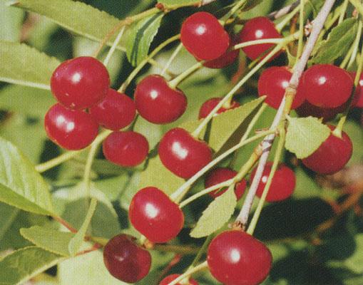 Жагарская (Сорт вишни среднего срока созревания) Сад и огород
