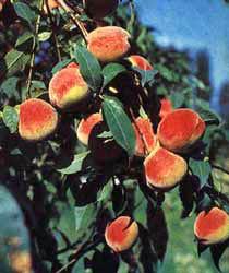 Персик комнатный Комнатные растения и цветы