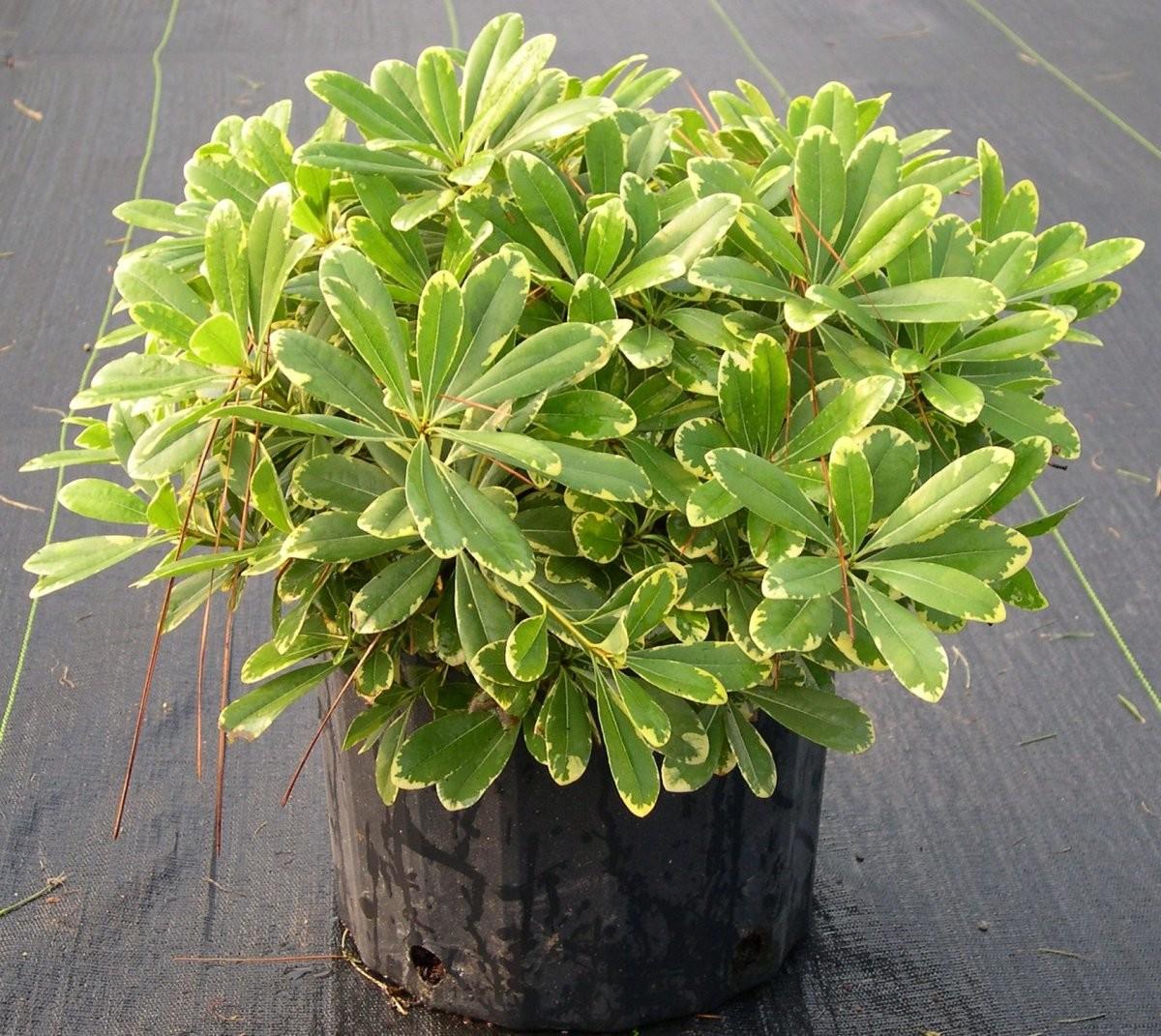 Питтоспорум Комнатные растения и цветы