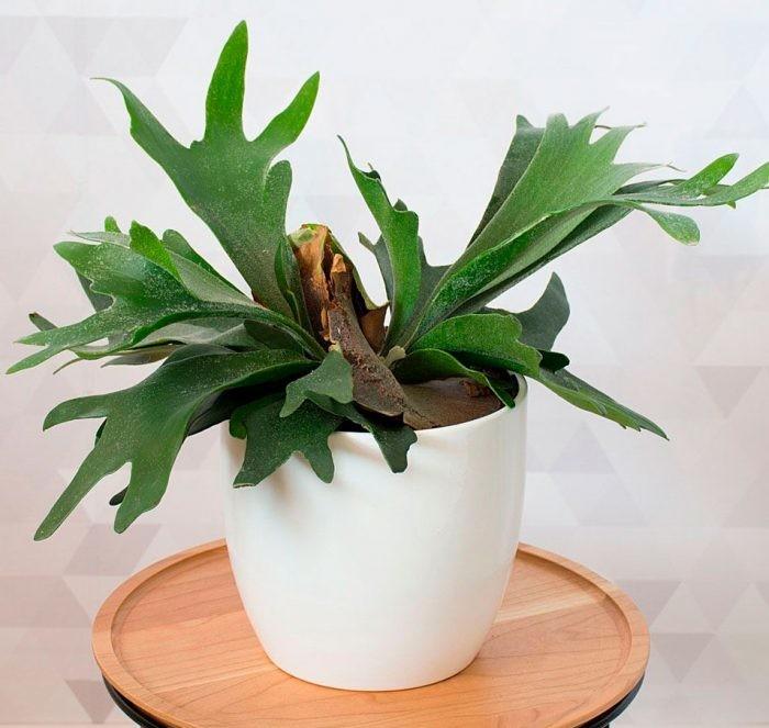 Платицериум Комнатные растения и цветы