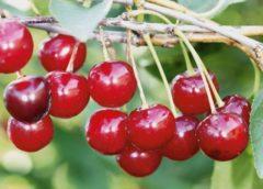 Поздние сорта вишни - Рубиновая Сад и огород