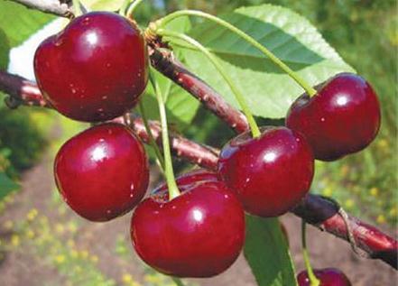 Поздние сорта вишни - Шубинка Сад и огород