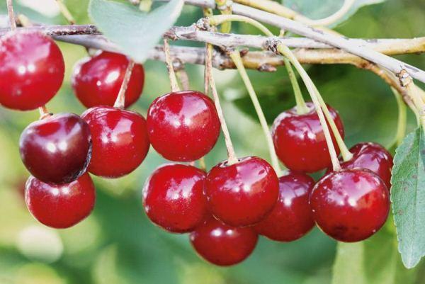 Поздние сорта вишни - Уральская рубиновая Сад и огород