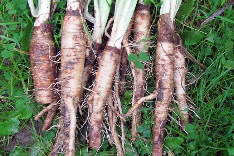 Овсяный корень Здоровье