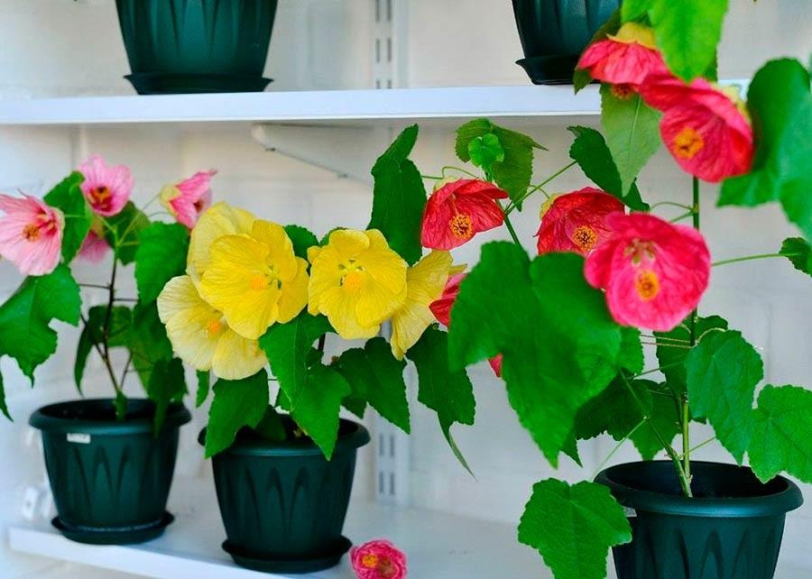 Абутилон Комнатные растения и цветы
